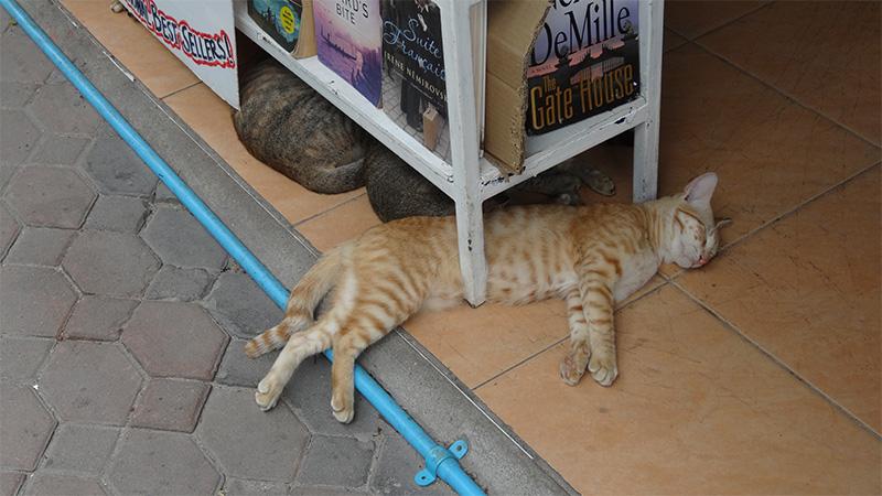 実は猫パラダイス!ピピ島の猫たちを紹介!
